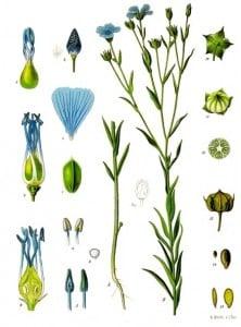 Detaljtegning av Lin -- Franz Eugen Köhler, Köhler's Medizinal-Pflanzen