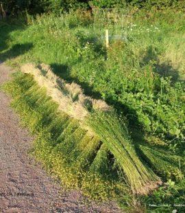 Innhøsting av lin