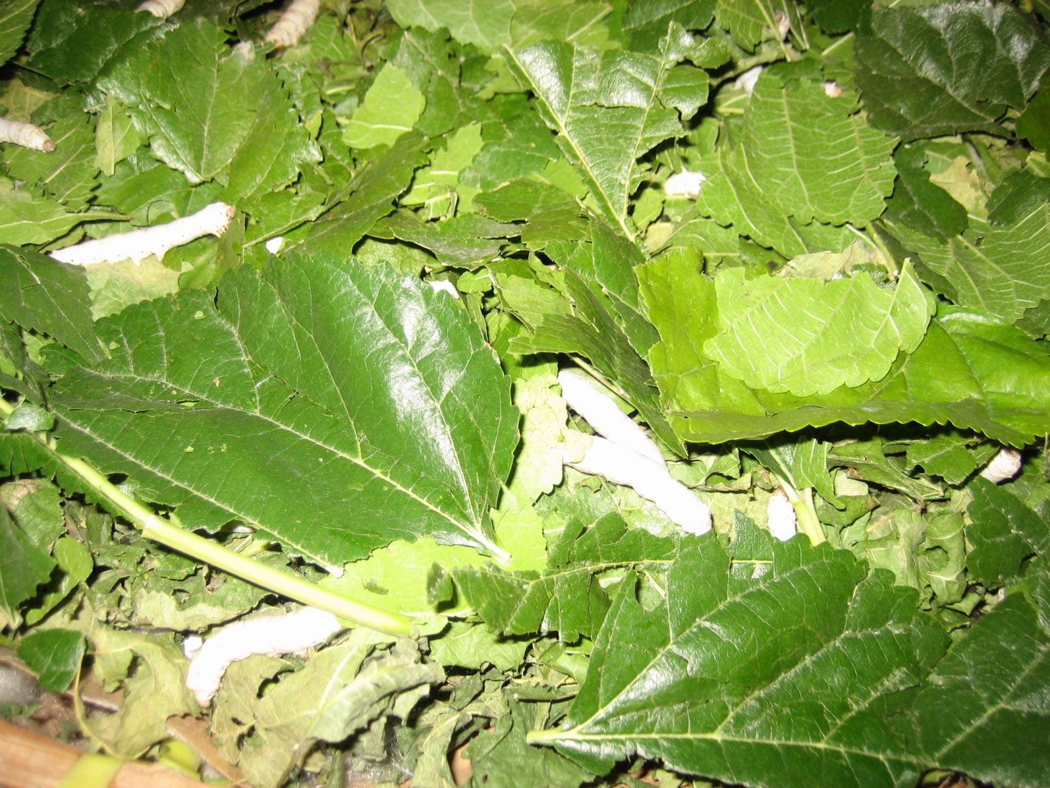 Silkeormene spiser morbærblader
