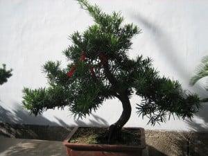 Kina, bonsai